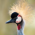 West African Crowned Crane III Royalty Free Stock Photo