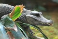 West african dwarf crocodile the detail of Stock Photography