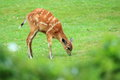 West african sitatunga the female of in the grass Stock Images