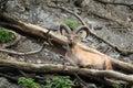 West caucasian tur lying on the fallen tree Stock Photos