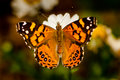 West Coast Lady Butterfly Royalty Free Stock Photography