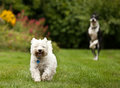 West highland terrier being chased by a great dane Royalty Free Stock Images