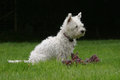 West highland terrier sitting in the garden with her toy Royalty Free Stock Images