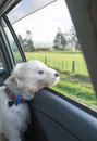 West highland terrier westie dog with head out of car window and Royalty Free Stock Photo