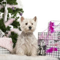 West Highland White Terrier, 2 years old Royalty Free Stock Photo