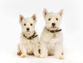 West Highland White Terrier dogs Royalty Free Stock Photo