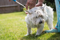 West Highland white terrier having a wash Royalty Free Stock Photo