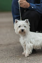 West highland white terrier looks into camera lens Royalty Free Stock Photo