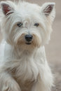 West highland white terrier looks into camera lens Royalty Free Stock Image
