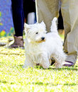 West highland white terrier a view of a small young and beautiful dog standing on the lawn westie dogs are very friendly and love Stock Photos