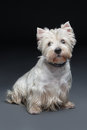 West highland white terrier whit sitting over grey background Royalty Free Stock Photography