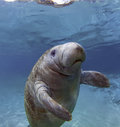 West India Manatee Royalty Free Stock Images