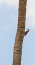 West indian woodpecker on a palm tree an melanerpes superciliaris holds vertical pecking the bark in search of insects Royalty Free Stock Photo