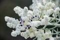 Western Australia native wildflower macro lambs wool Royalty Free Stock Photo