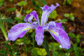 Western Blue Flag Iris Royalty Free Stock Photo