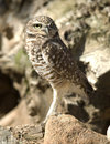 Western burrowing owl, close up, california Stock Images
