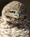 Western burrowing owl, close up, california Stock Photography