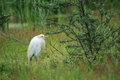 Western cattle egret the standing in the grass Royalty Free Stock Images
