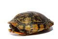 Western Chicken Turtle Royalty Free Stock Photography