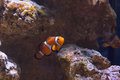 Western clown anemone fish Royalty Free Stock Photo