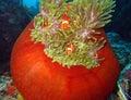 Western clown anemonefish two in anemone maratua indonesia Royalty Free Stock Photo