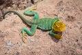 Western Collared Lizard Male Near Moab Utah Royalty Free Stock Photo