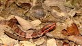 Western cottonmouth juvenile red colored baby agkistrodon piscivorous in leaf litter Royalty Free Stock Photo
