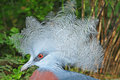 Western Crowned Pigeon Stock Photography