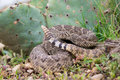 Western diamondback rattle snake kidding in prickly pear cactus rattlesnake curled up Royalty Free Stock Photos