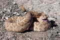Western Diamondback Rattlesnake (Crotalus atrox) Royalty Free Stock Photo