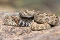 Western Diamondback Rattlesnake posed to strike Royalty Free Stock Photo