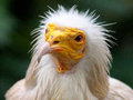 Western egyptian vulture a portrait of a Stock Photos