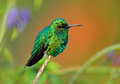 Western Emerald, Chlorostilbon melanorhynchus, hummingbird in the Colombia tropic forest, blue an green glossy bird in the nature