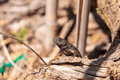 Western fence lizard called Sceloporus occidentalis Royalty Free Stock Photo