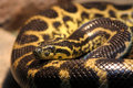 Western foxsnake Royalty Free Stock Photo