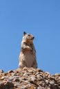 Western gray squirrel Royalty Free Stock Image