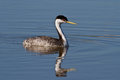 Western Grebe (Aechmophorus occidentalis) Stock Photos