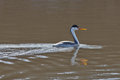 Western grebe in the morning sun swimming calm waters while lighted by Stock Photography