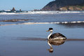 Western grebe seabird at ocean beach is reflected in the water with waves and ocean in the distance Stock Images