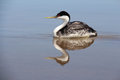 Western grebe seabird red eyed wester in water with reflection Royalty Free Stock Photo