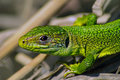 Western green lizard lacerta bilineata portrait of Royalty Free Stock Images