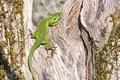 Western green lizard specimen of the warms up in the sun Royalty Free Stock Image