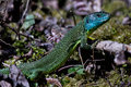 Western Green Lizard Royalty Free Stock Photo