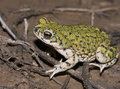 Western green toad Royalty Free Stock Photo