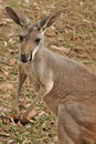 The Western Grey Kangaroo Stock Photo