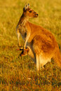 Western Grey Kangaroo Stock Photo