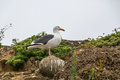 Western Gull Royalty Free Stock Photo