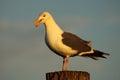 Western Gull Calling