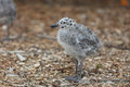 Western Gull Chick - Larus occidentalis Royalty Free Stock Photo