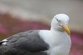 Western Gull - Larus occidentalis Royalty Free Stock Photo